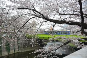 沿線のさくら:神田川
